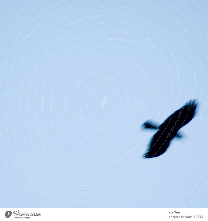 Ich bin dann mal weg ... Luft Vogel fliegen Schweben Blauer Himmel fliegend himmelblau hell-blau Wolkenloser Himmel Greifvogel Vogelflug Klarer Himmel Vor hellem Hintergrund