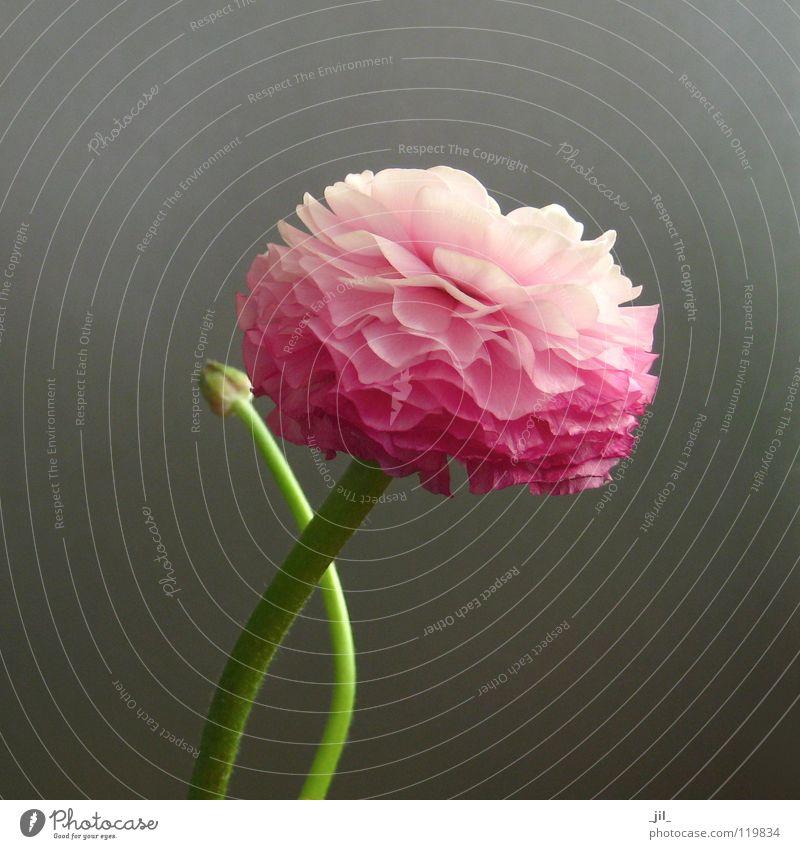 ranunkel 2 Blume Blüte rein überlagert Leben Kraft rosa grün grau schön Trollblume Schichtarbeit Niveau Strukturen & Formen Bewegung sanft