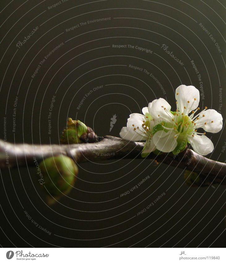 kirschblüte Blume Kirschblüten Blüte Asien rein puristisch edel zierlich Kraft Frühling dunkel weiß gelb grün braun khakigrün schön hell