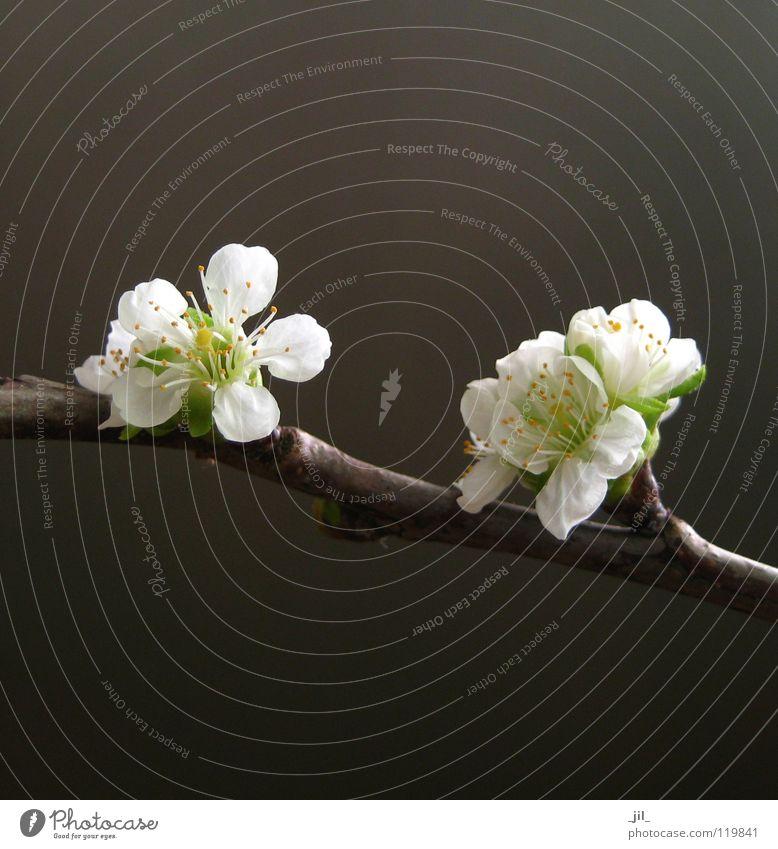 kirschblüten Blume Kirschblüten Blüte Asien rein puristisch edel zierlich Kraft Frühling dunkel weiß gelb grün braun khakigrün schön hell