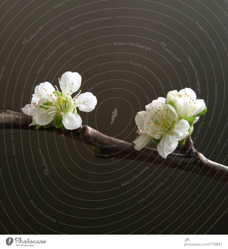kirschblüten schön weiß Blume grün gelb dunkel Blüte Frühling hell braun Kraft Asien rein edel zierlich Kirschblüten