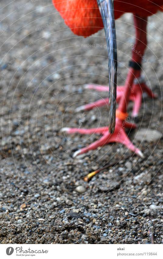 Roter Sichler schön rot Ernährung Tier Fuß Vogel Angst Lebensmittel gefährlich Feder Kontrolle Wachsamkeit Schnabel Vorsicht krumm Futter