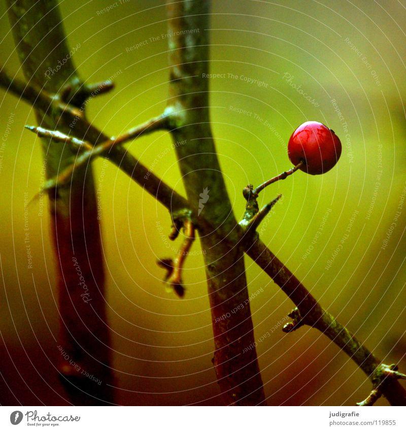 Rot rot Sträucher grün Herbst Winter nass kalt klein Dorn zart Umwelt Farbe Beeren Frucht Zweig Einsamkeit Natur Außenaufnahme