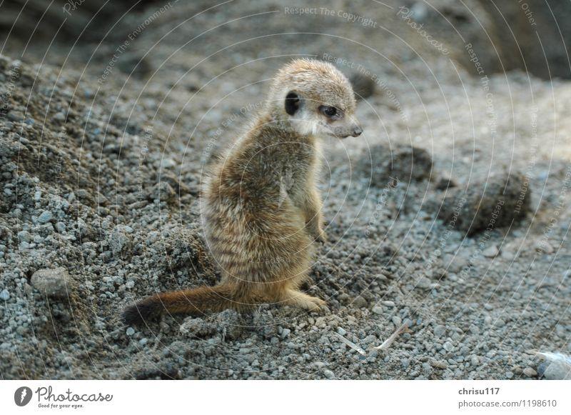 Und ich ... ? Natur Sommer Tier Tierjunges Park Wildtier Abenteuer Unlust Erdmännchen Streichelzoo