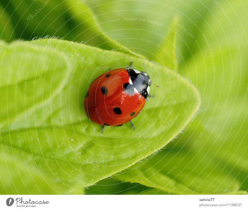 endlich Pause Tier Wildtier Käfer Marienkäfer Insekt 1 berühren Fröhlichkeit Gesundheit Glück klein niedlich grün rot Farbe Gesundheitswesen Liebe ruhig Umwelt
