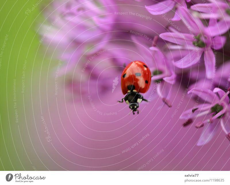 abwärts Umwelt Natur Pflanze Tier Frühling Sommer Blume Efeu Blüte Garten Käfer Insekt Marienkäfer Gliederfüßer 1 Duft fallen hängen krabbeln frech Neugier grün