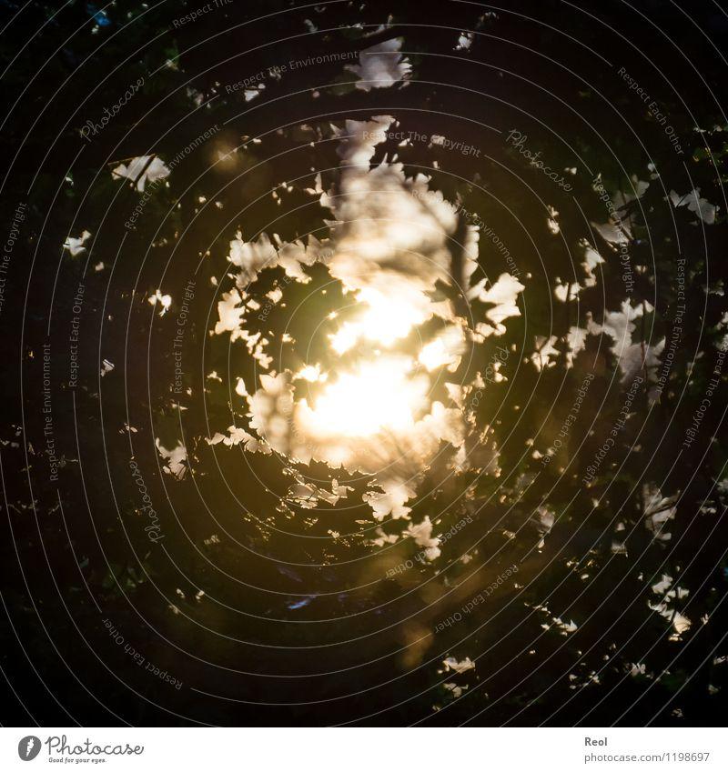 Lichtblick Natur Landschaft Urelemente Himmel Sonne Sonnenlicht Frühling Sommer Schönes Wetter Pflanze Baum Blatt Blätterdach Baumkrone Ahorn Ahornblatt
