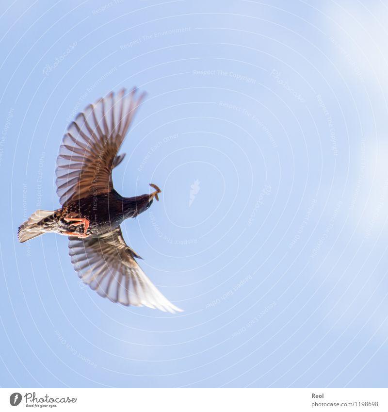 Hoch oben Natur Tier Luft Himmel Wolkenloser Himmel Frühling Sommer Schönes Wetter Wildtier Vogel Amsel Wurm Futter Nahrungssuche Fressen Jagd 1 fliegen füttern