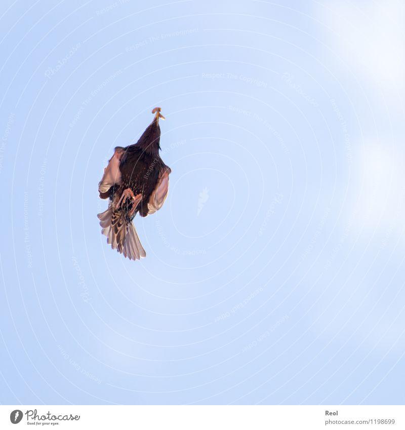 Pfeilschnell Umwelt Natur Tier Luft Himmel Wildtier Vogel Wurm Amsel 1 fliegen Fressen blau Jagd Nahrungssuche Metallfeder Geschwindigkeit Dynamik gleiten