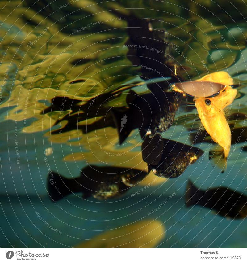 Oberflächen(an)spannung Wasser gold Fisch Freizeit & Hobby Aquarium Scheune Schwimmhilfe füttern Futter Tank Ausländer Kieme Süßwasser Aquaristik Vierauge