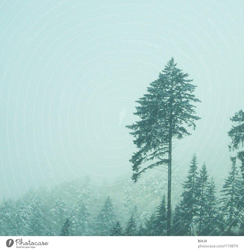 Tanne Baum Wald Winter kalt Nebel Schwarzwald Baumkrone Tannenzweig Ferne Berghang steil alpin weiß Tiefschnee Freizeit & Hobby Ferien & Urlaub & Reisen