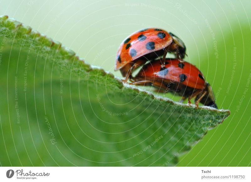 Marienkäfer-Liebe Käfer 2 Tier Tierpaar Liebesleben Fortpflanzung grün orange rot schwarz Gefühle Freude Frühlingsgefühle Glück ladybird Punkt Farbfoto