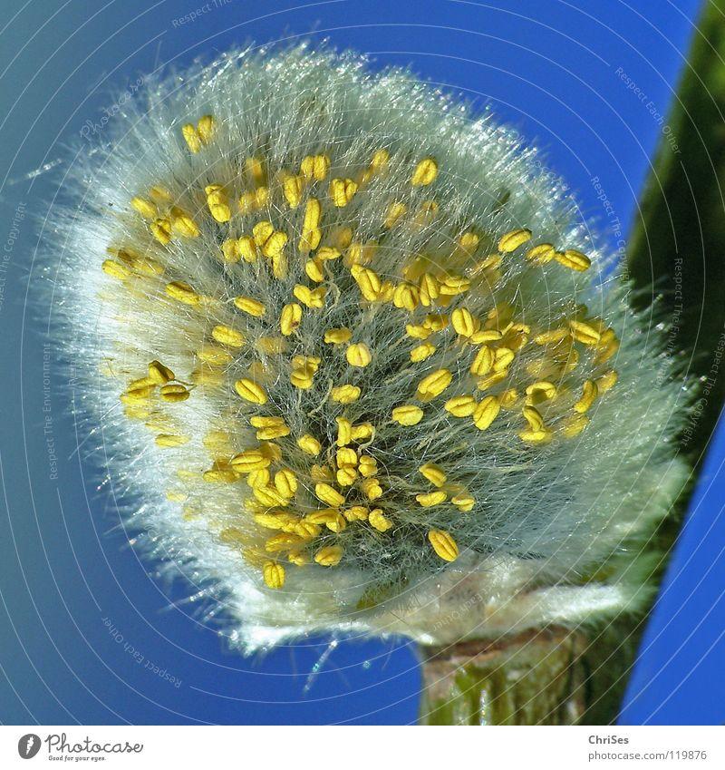 Katzenblühen.... weich Pflanze Baum Frühling Sträucher grau weiß gelb Staub Staubfäden Blühend aufwachen Samt Blüte Nordwalde Makroaufnahme Nahaufnahme Weide