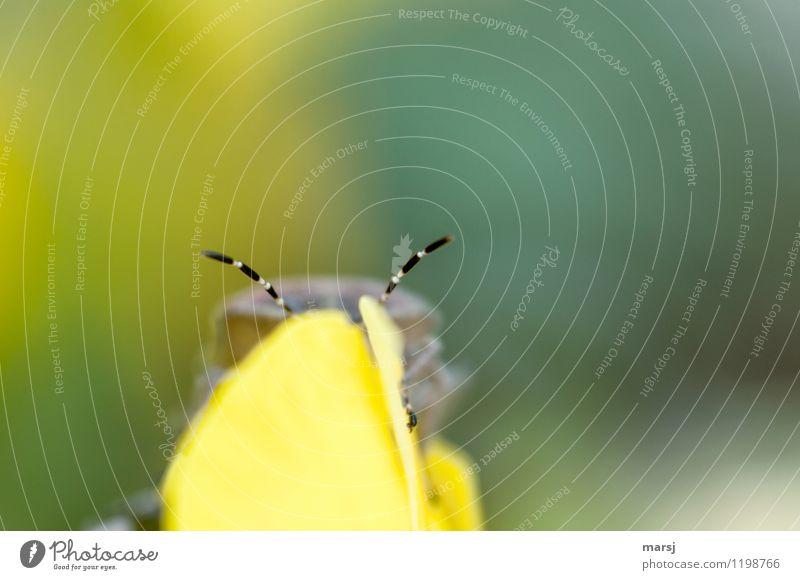 Voll auf Empfang Tier Wildtier Käfer Schildkäfer Wanze Fühler 1 außergewöhnlich dünn authentisch einfach klein mehrfarbig gelb gestreift fein Insekt empfangen