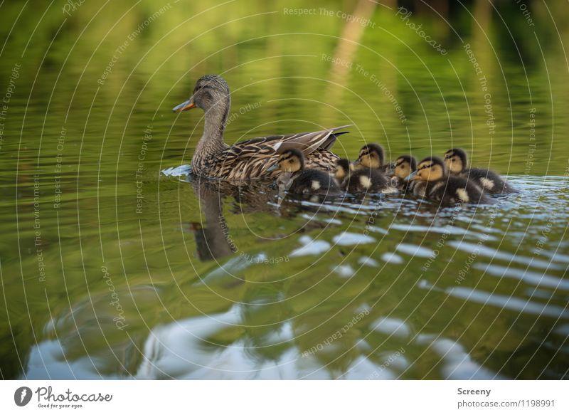 Familienausflug Natur Landschaft Pflanze Tier Wasser Frühling Sommer Teich See Wildtier Flügel Ente Entenküken Tiergruppe Tierjunges Tierfamilie