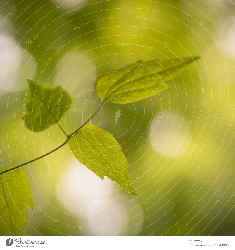 Sommerliche Frische Natur Pflanze grün Baum Blatt Frühling Wachstum