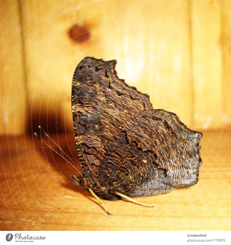 Schmetterling von außen Fühler Holz Flügel Beine Balken