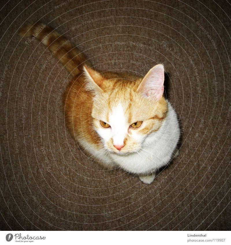 CAT Katze Fell Schwanz Säugetier cat scharfer blick Blick blickt hoch gold Ohr Mittelpunkt Auge