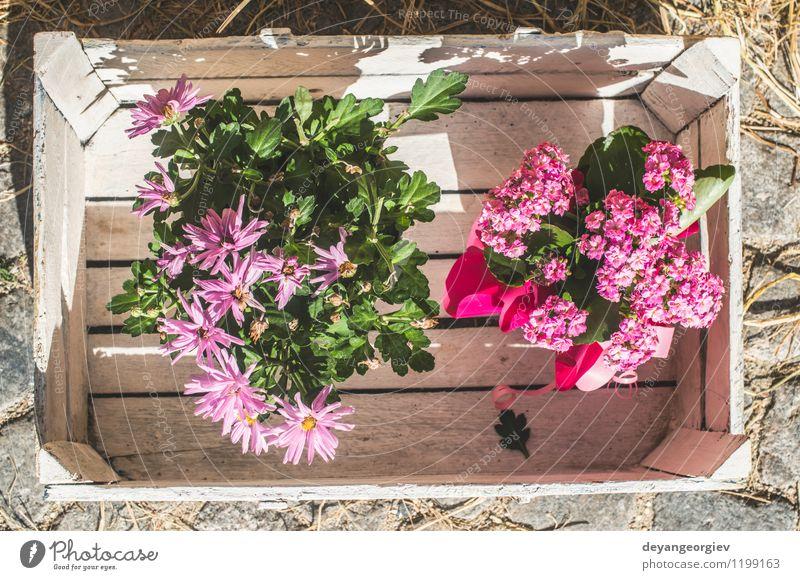 Blumen in der weißen Weinlesekiste alt Pflanze schön grün Haus Leben natürlich Kunst rosa Design Dekoration & Verzierung Geschenk Fotografie retro