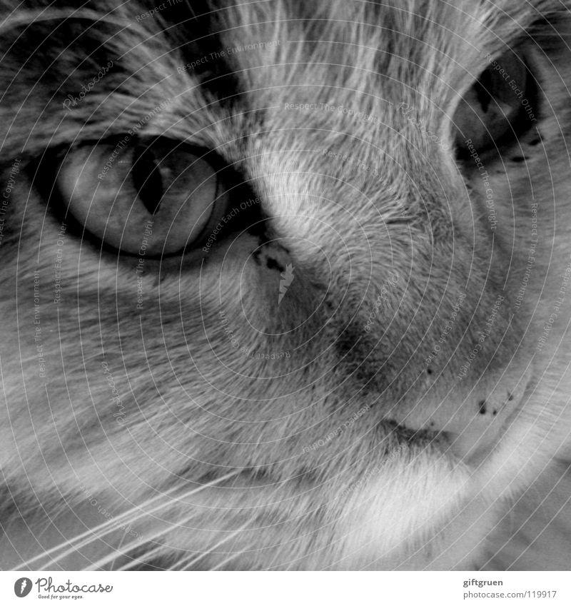 kein wässerchen trüben können oder: faustdick hinter den ohren Katze Hauskatze Fell Oberlippenbart Miau Tier Schwarzweißfoto Säugetier Makroaufnahme Nahaufnahme