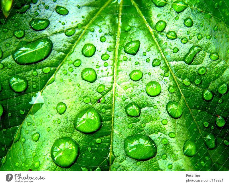 Regentropfen auf einem Weinblatt Wilder Wein Wassertropfen Sommer vor unserem Haus nach Regen Sonne schien Blattausschnitt saftiges Grün Pflanze grün nass