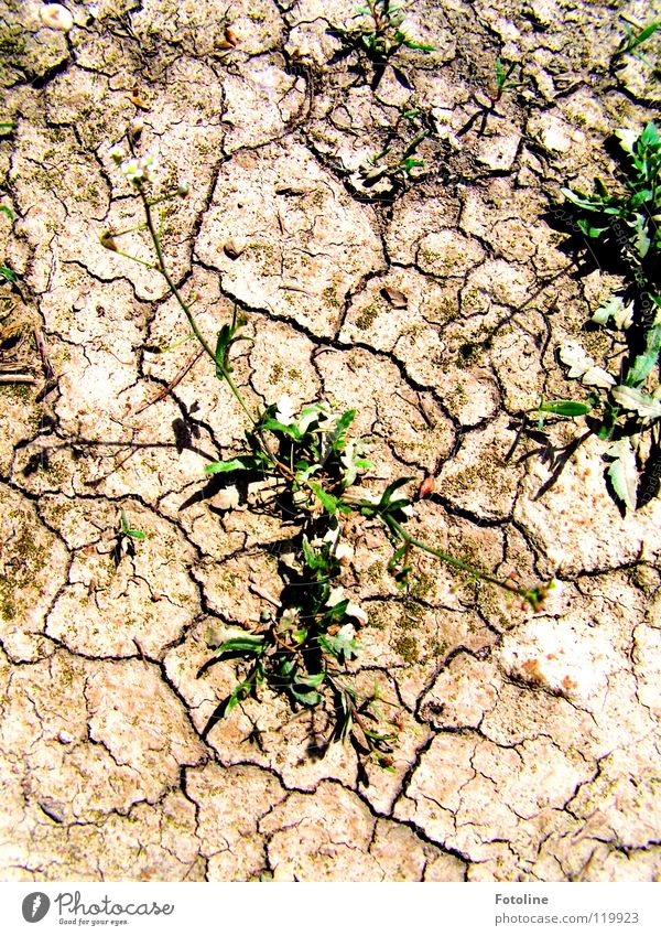 Ausgetrockneter Boden und trotzdem gibt es lebendiges Grün Sommer Pflanze Fußweg ausgetrocknete Erde Kraft der Natur Lehmboden Risse im Boden Wüste