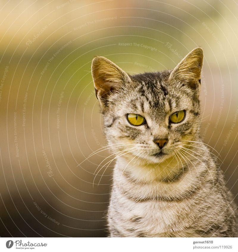 Schwanger schön schwarz Auge grau Katze Streifen Ohr Neugier hören Konzentration Wachsamkeit Momentaufnahme Interesse Säugetier Hauskatze Genauigkeit