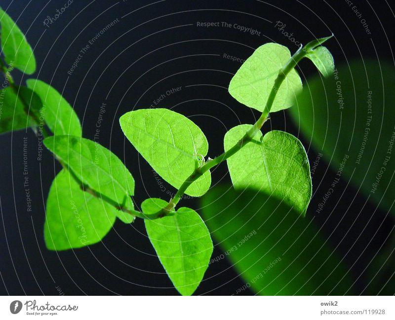 Ficus pumila Natur Pflanze grün Blatt schwarz Frühling Beleuchtung natürlich klein Dekoration & Verzierung Idylle authentisch erleuchten nah zart dünn