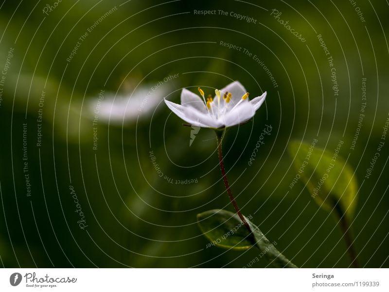 White Lady Umwelt Natur Landschaft Pflanze Baum Blume Gras Grünpflanze Nutzpflanze Wildpflanze Wiese Wald Blühend Duft Erotik Wärme weich mehrfarbig grün weiß