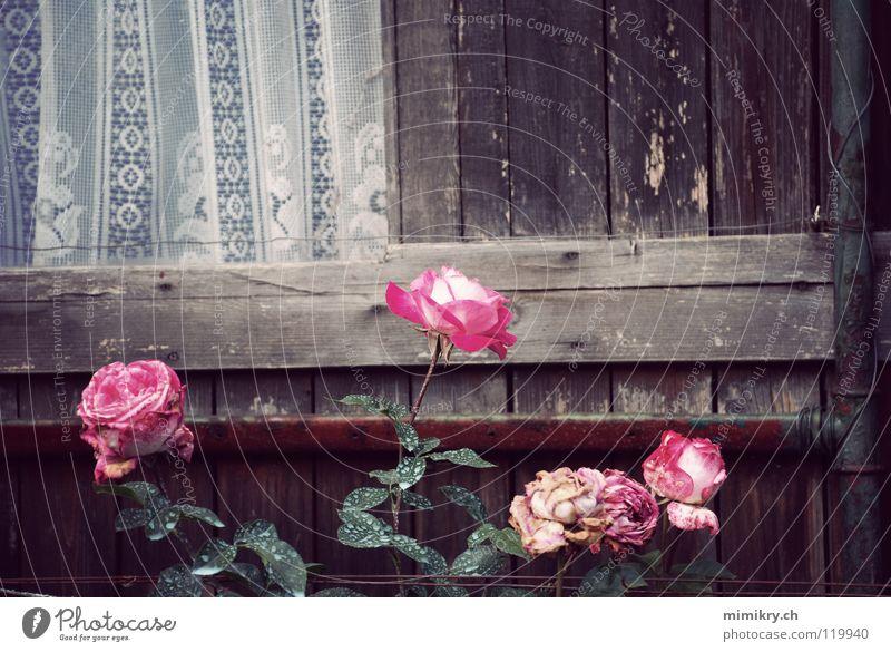 Kleines Glück Rose Vorhang Tüll rosa Vergänglichkeit Schrebergarten Fenster Blume Pflanze Erinnerung Trauer Garten Park Herbst Spitze verblüht Gartenhaus früher
