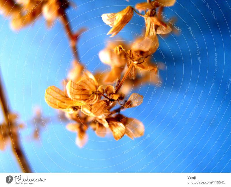 herbstlich II Natur alt Blume blau Pflanze Herbst Blüte zart Stengel Verfall leicht sanft zerbrechlich verblüht getrocknet Blütenblatt
