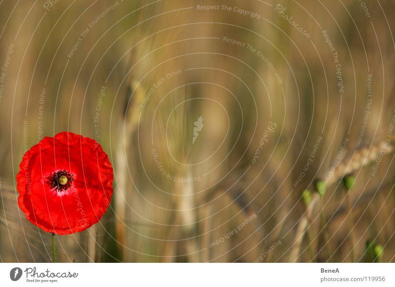 Moooooohn Mohn Klatschmohn Schlafmohn Blume Blüte Mohnblüte Pflanze Feld Natur Landwirtschaft Wachstum Reifezeit Lebensmittel Ernährung Biologie ökologisch