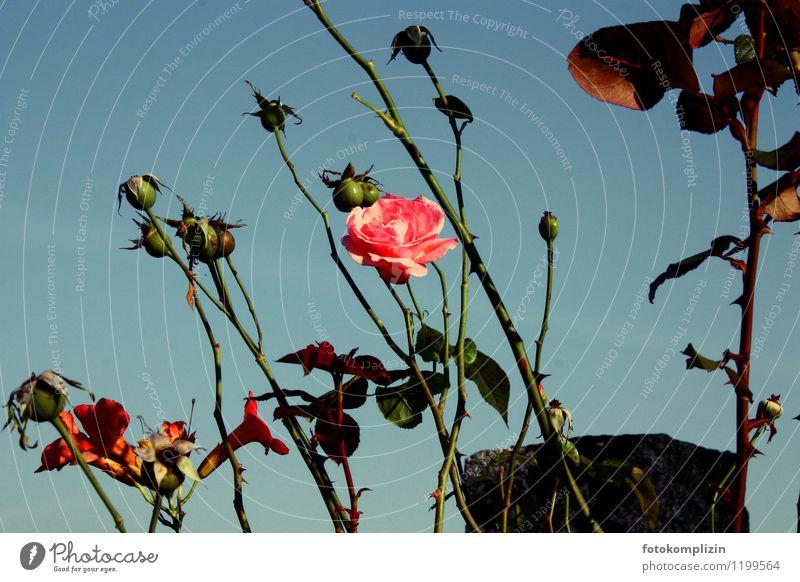 letzte rose alt Pflanze schön Blume Traurigkeit Blüte rosa Vergänglichkeit Romantik Rose verblüht