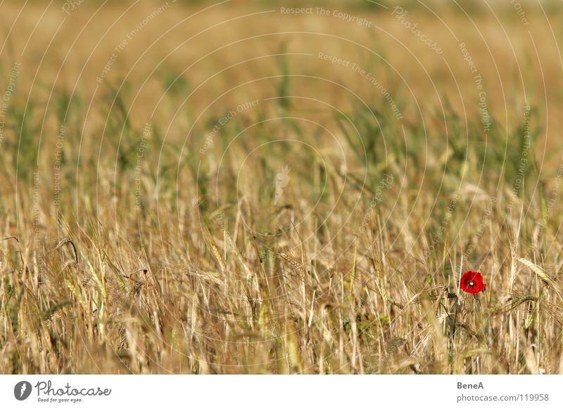 Mooooooohn Natur Blume Pflanze rot Ernährung gelb Farbe Leben Blüte orange Feld Gesundheit Lebensmittel gold Energiewirtschaft Wachstum