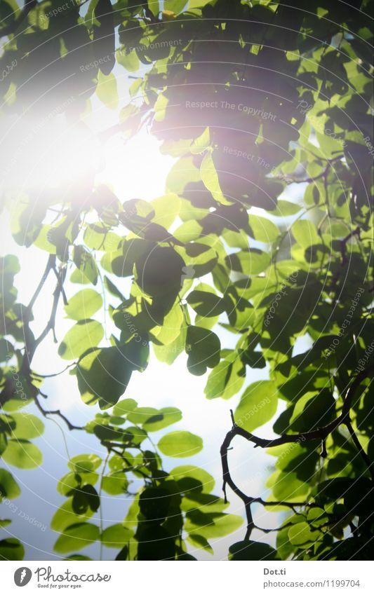 Schein-Akazie Natur Pflanze Himmel Wolkenloser Himmel Sonnenlicht Frühling Sommer Schönes Wetter Baum Blatt Grünpflanze Garten Park hell grün Idylle rein