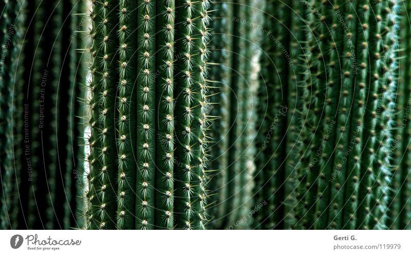 son Kack grün Pflanze Linie gefährlich Konzentration Botanik vertikal Kaktus Stachel Dorn Bedecktsamer