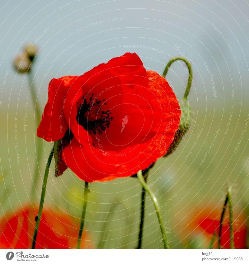 Stürmischer Mohn Blume grün Gras Freizeit & Hobby rot nah schwarz mehrfarbig Sommer Wiese Mai Juni Makroaufnahme Nahaufnahme Pflanze Natur Erholung
