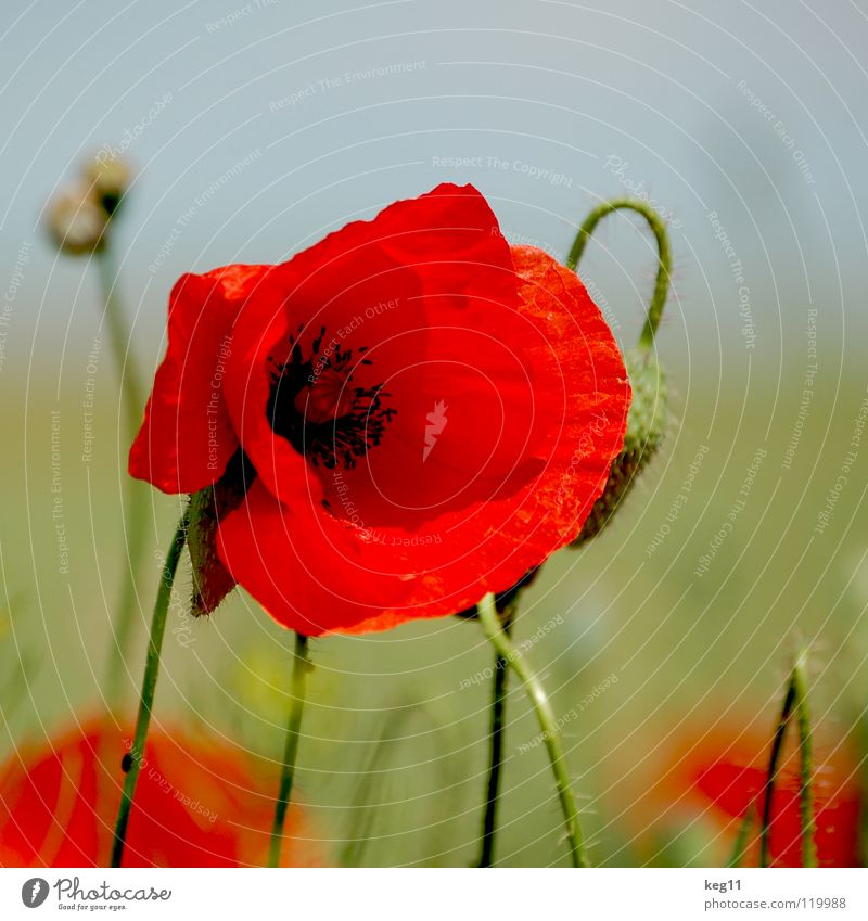 Stürmischer Mohn Natur schön Blume grün Pflanze rot Sommer Freude schwarz Erholung Wiese Gras nah Freizeit & Hobby Stengel Alkoholisiert
