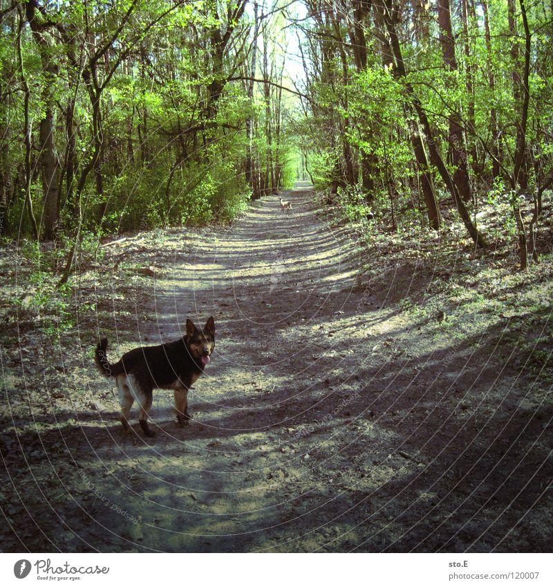 verspielt pt.3 Natur Baum Sonne schwarz Tier Wald Straße Wiese Spielen Hund Wege & Pfade braun Hintergrundbild Ordnung groß Kraft