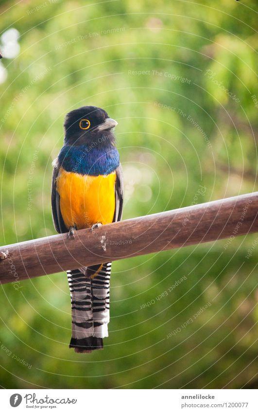 Veilchentrogon Natur Tier Wildtier Vogel Trogon Männchen 1 blau gelb schwarz weiß sitzen sanft bunt Belize tropisch gestreift Farbfoto Außenaufnahme Nahaufnahme