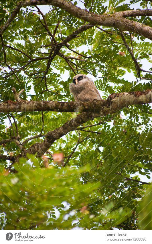 Im Regenbaum ein Küken saß Natur Tier Frühling Baum Wildpflanze Rain-tree Ast Blätterdach Garten Park Wald Urwald Wildtier Vogel Eulenvögel Kauz Bindenhalskauz