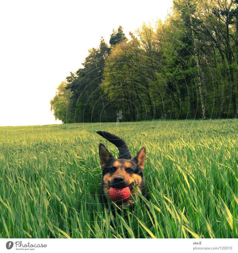 verspielt pt.4 Natur rot Sonne schwarz Tier Auge Wiese Spielen Hund Freundschaft braun Ordnung groß Kraft Geschwindigkeit süß