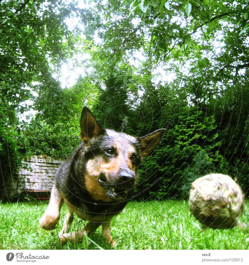verspielt pt.5 Hund Tier Spielen Jäger Treue anhänglich Freundschaft groß Kraft stark Geschwindigkeit niedlich süß Wiese Freundlichkeit dumm tollpatschig