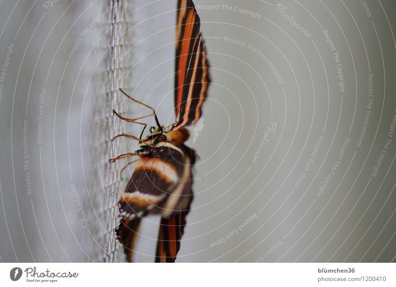abhängen Tier Wildtier Schmetterling Flügel Gliederfüßer Insekt Lebewesen hocken ästhetisch schön natürlich mehrfarbig gestreift Beine Gitter sitzen Perspektive