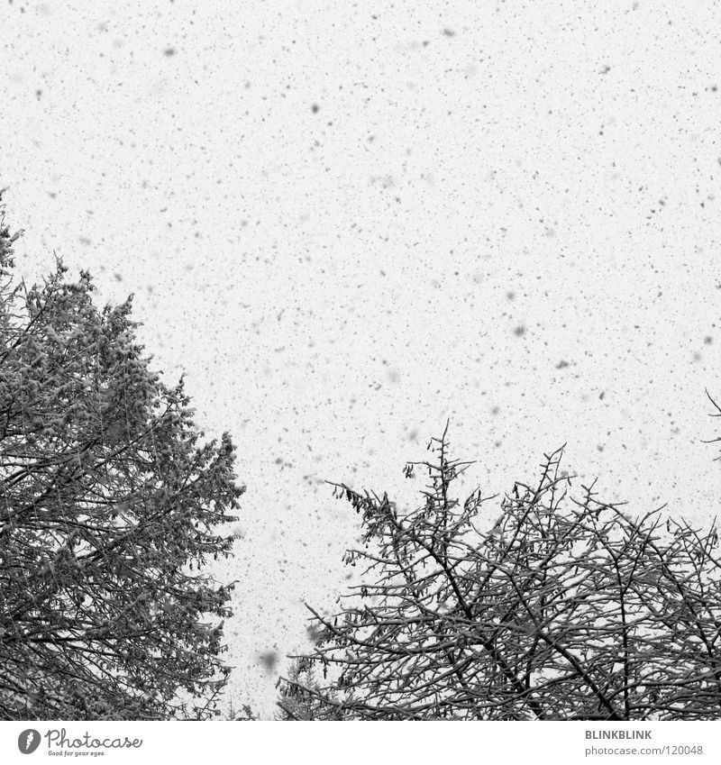 snow fleck grau Baum schwarz weiß Schneeflocke Himmel Winter kalt gefroren Natur Schnellzug schnne grey tree black white snow flakes Ast stems sky cold frozen