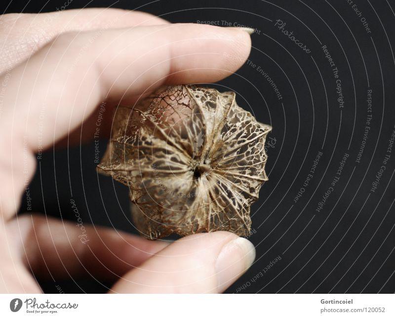 Golden Network III Physalis Hand Finger Fingernagel Pflanze Blatt Blüte durchsichtig dunkel schwarz gelb braun fein filigran trocken Winter Vernetzung Gitter