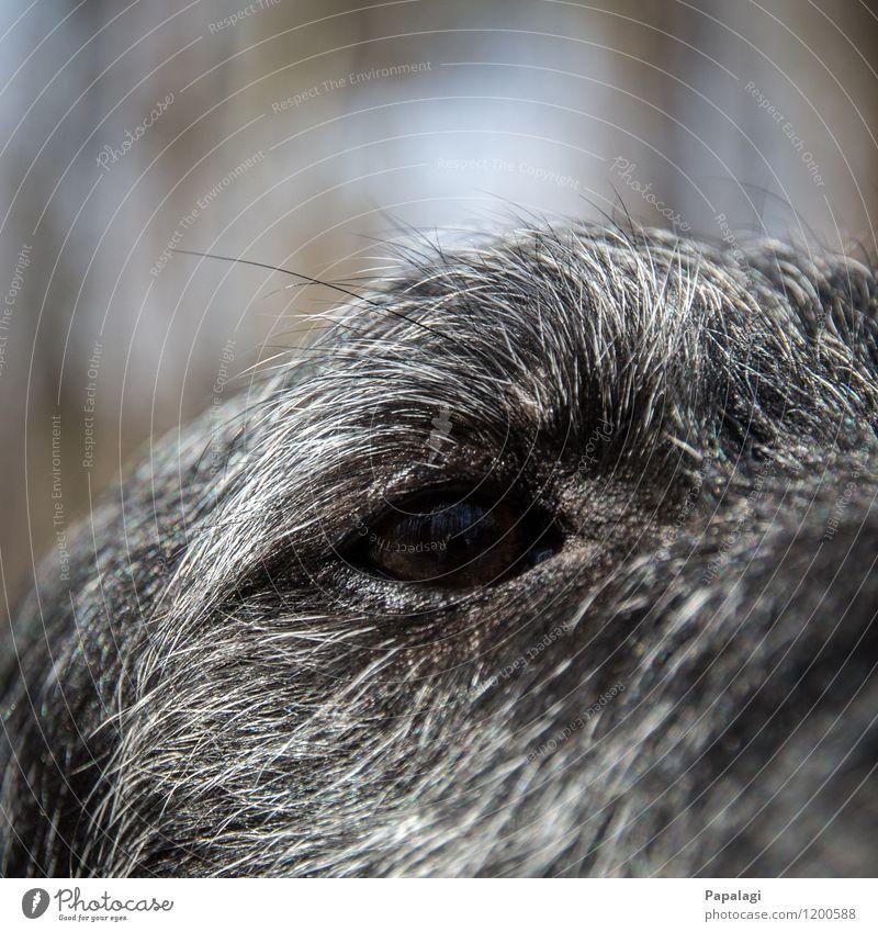 Schwarzes Loch Tier Haustier Hund Tiergesicht 1 Vertrauen Hundeblick Pupille Fell Säugetier Nahaufnahme Auge Hundeauge schwarz grau Wimpern Farbfoto