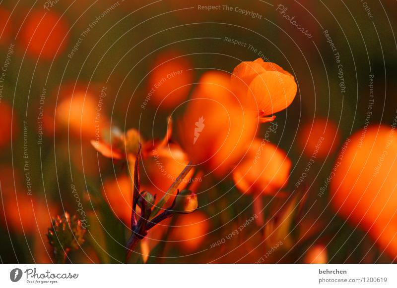orange Natur Pflanze Frühling Sommer Blume Gras Blatt Blüte Wildpflanze Sumpf-Dotterblumen Garten Park Wiese Feld Blühend Duft verblüht Wachstum schön klein