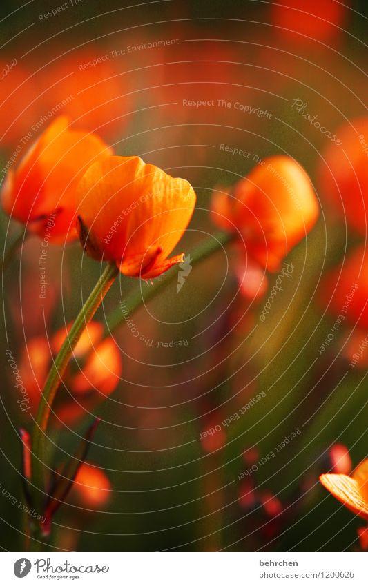 orange Natur Pflanze Frühling Sommer Herbst Schönes Wetter Blume Gras Blatt Blüte Wildpflanze Sumpf-Dotterblumen Blühend Duft verblüht Wachstum schön Kitsch