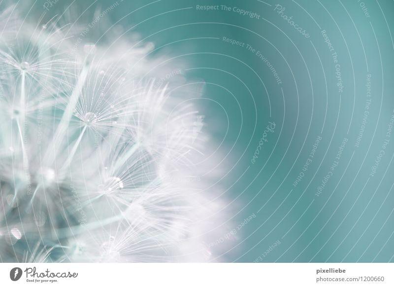 Pusteblume Makro Himmel Natur blau Pflanze Sommer weiß Erholung Blume Frühling Blüte Wiese Garten glänzend Regen frisch elegant